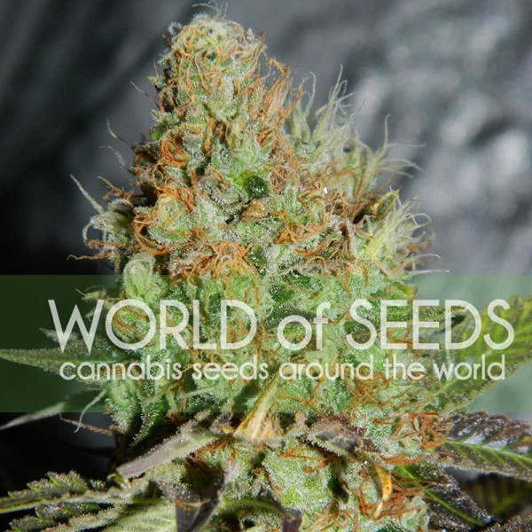 Afghan Kush Special - WORLDOFSEEDS - LEGEND COLLECTION