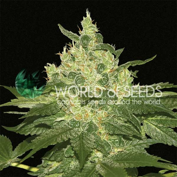 Afghan Kush Regular - 10 seeds - WORLDOFSEEDS - PURE ORIGIN COLLECTION -  REGULARES