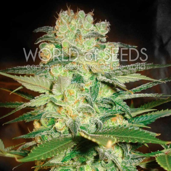 Afghan Kush x White Widow - WORLDOFSEEDS - MEDICAL COLLECTION