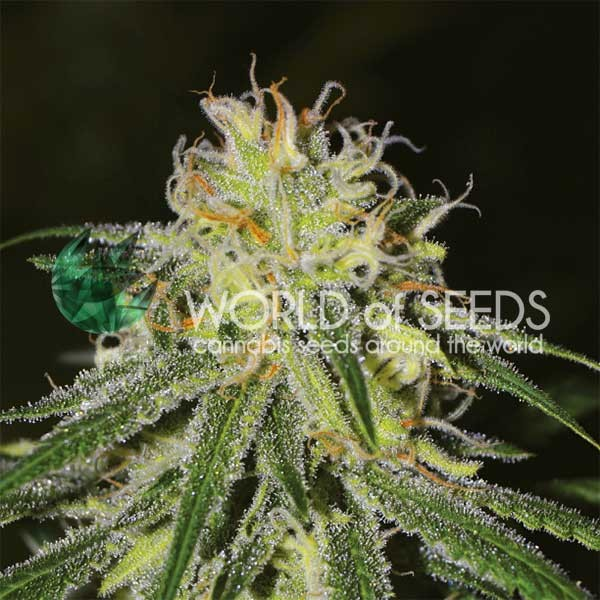 Amnesia - WORLDOFSEEDS - LEGEND COLLECTION