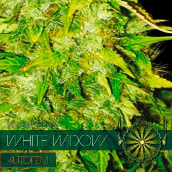 WHITE WIDOW AUTO - VISION SEEDS