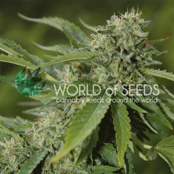Brazil Amazonia Regular - 10 seeds - WORLDOFSEEDS - PURE ORIGIN COLLECTION -  REGULARES