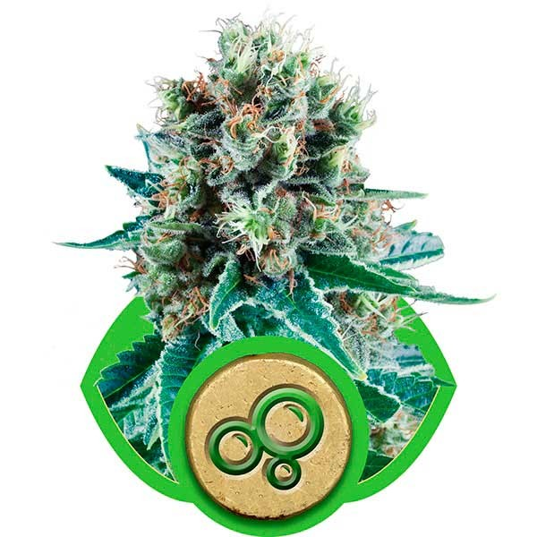 Bubble Kush Automatic - ROYAL-QUEEN SEEDS