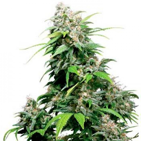 CALIFORNIA INDICA REGULAR (SENSI SEEDS) - SENSI SEEDS