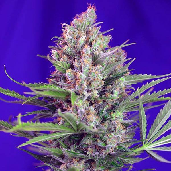 CREAM MANDARINE FAST VERSION  - SWEET SEEDS