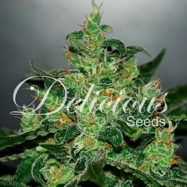 CRITICAL JACK HERER AUTO - DELICIOUS SEEDS - SEMILLAS AUTOFLORECIENTES