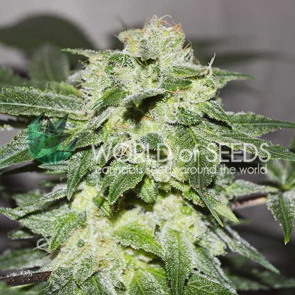 Chronic Haze - WORLDOFSEEDS - LEGEND COLLECTION