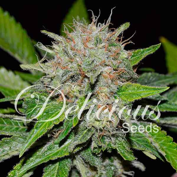 Deep Mandarine - DELICIOUS SEEDS - CBD FAMILY