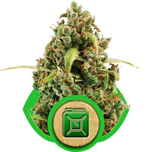 Diesel Automatic - ROYAL-QUEEN SEEDS