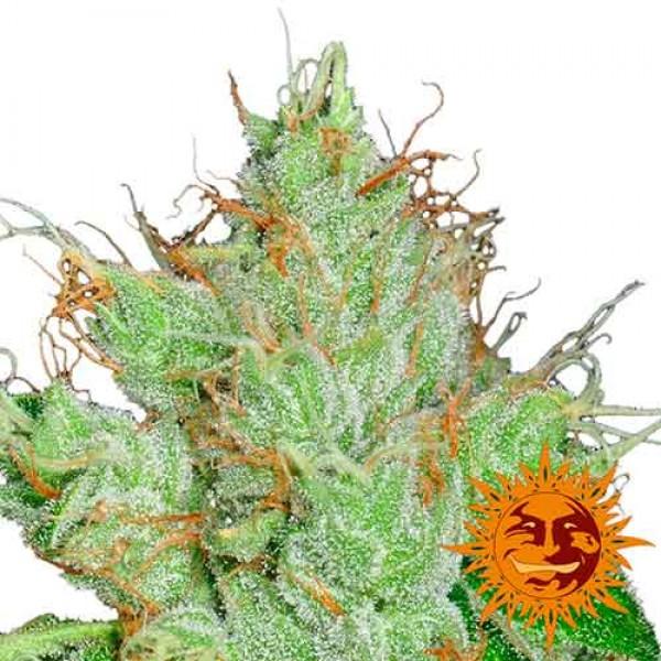 G13 HAZE REGULAR - 10 seeds - BARNEY'S FARM