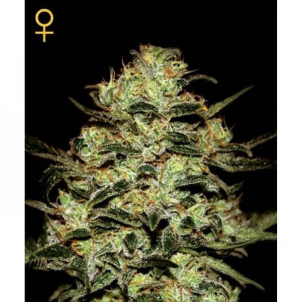 MOBY DICK FEM 3 SEEDS (GREENHOUSE) - GREENHOUSE
