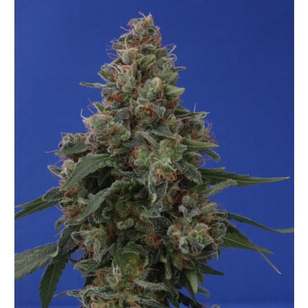 HASH PLANT: 10 semillas - VULKANIA SEEDS