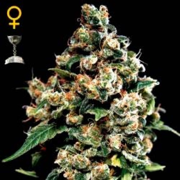 JACK HERER - GREENHOUSE