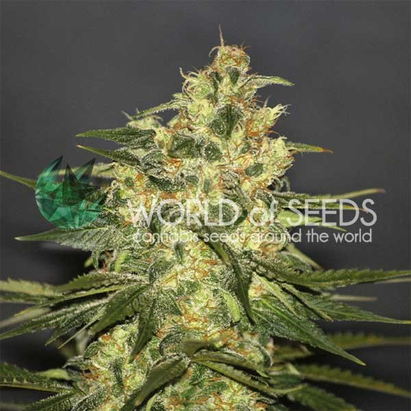 Ketama: 10 Semillas - WORLDOFSEEDS - PURE ORIGIN COLLECTION -  REGULARES