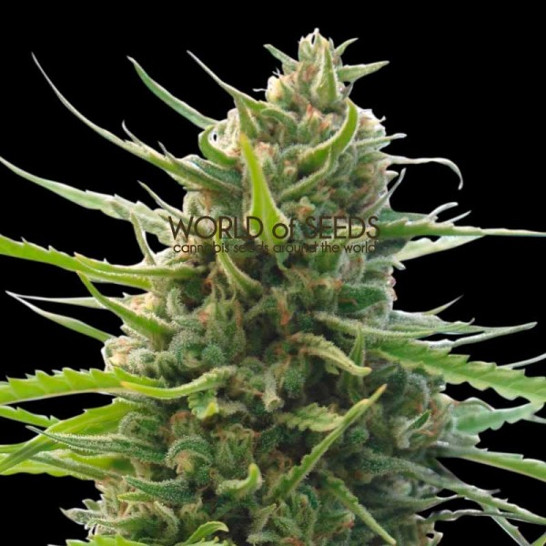 Kilimanjaro Regular - 10 seeds - WORLDOFSEEDS - PURE ORIGIN COLLECTION -  REGULARES