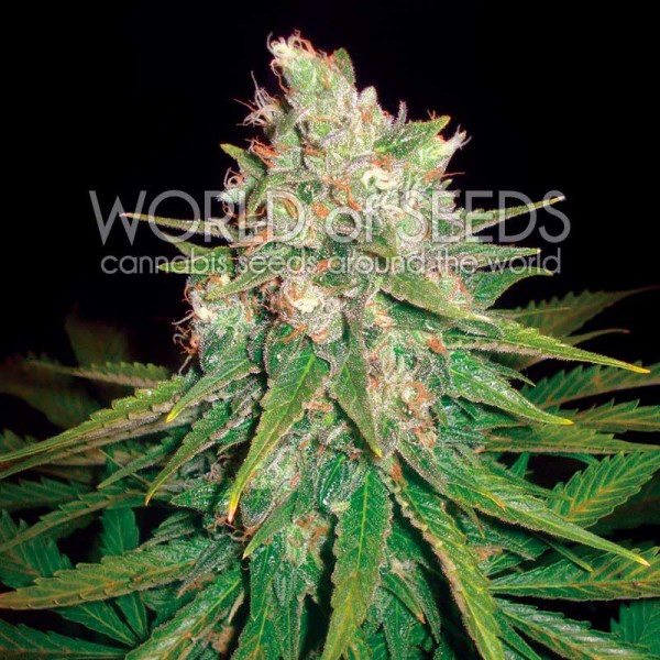 Mazar x Great White Shark - WORLDOFSEEDS - MEDICAL COLLECTION