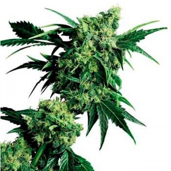 MR. NICE G13 X HASH PLANT REGULAR (SENSI SEEDS) - SENSI SEEDS