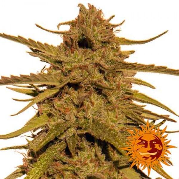 PINEAPPLE HAZE REGULAR - 10 seeds - BARNEY'S FARM