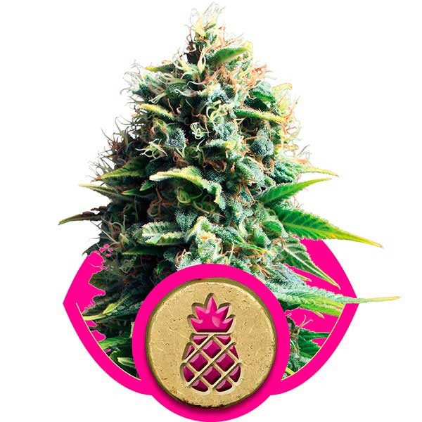 Pineapple Kush - ROYAL-QUEEN SEEDS