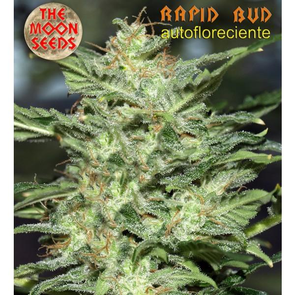 Rapid bud - autofloreciente 3 semillas - MOON SEEDS