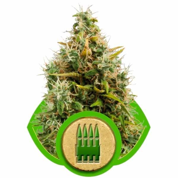 ROYAL AK AUTOMATIC - ROYAL-QUEEN SEEDS