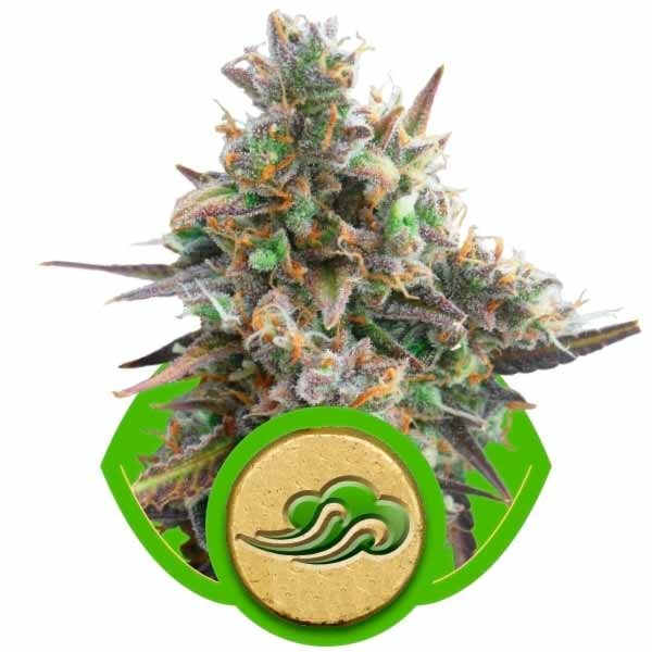 ROYAL BLUEMATIC - ROYAL-QUEEN SEEDS