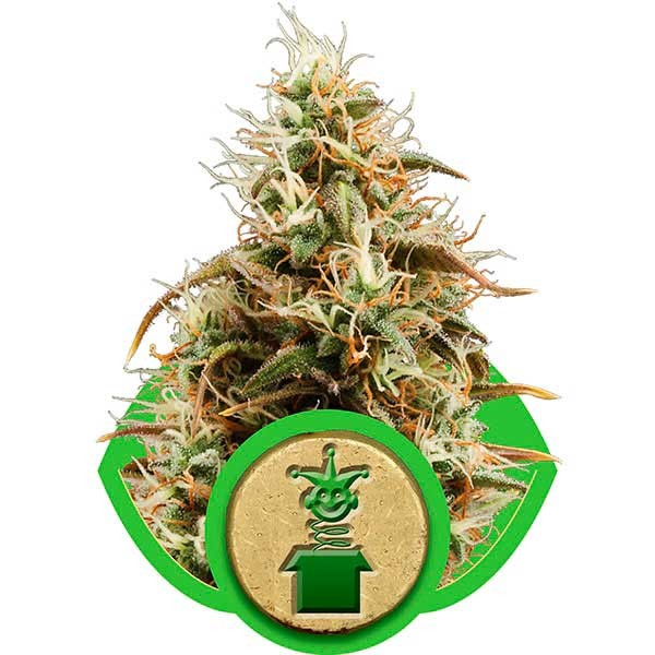 Royal Jack Automatic - ROYAL-QUEEN SEEDS