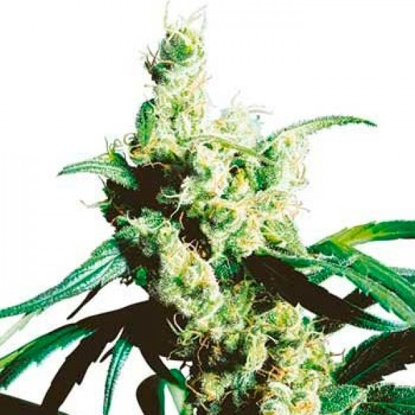 SILVER HAZE REGULAR (SENSI SEEDS) - SENSI SEEDS