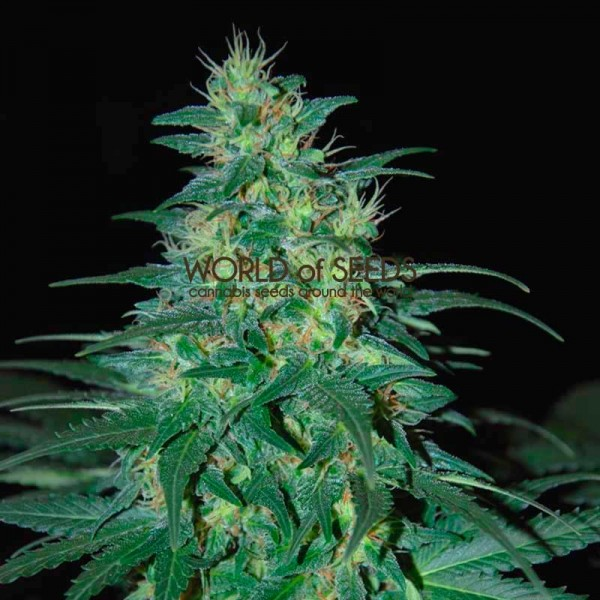 South African Kwazulu Regular - 10 seeds - WORLDOFSEEDS - PURE ORIGIN COLLECTION -  REGULARES
