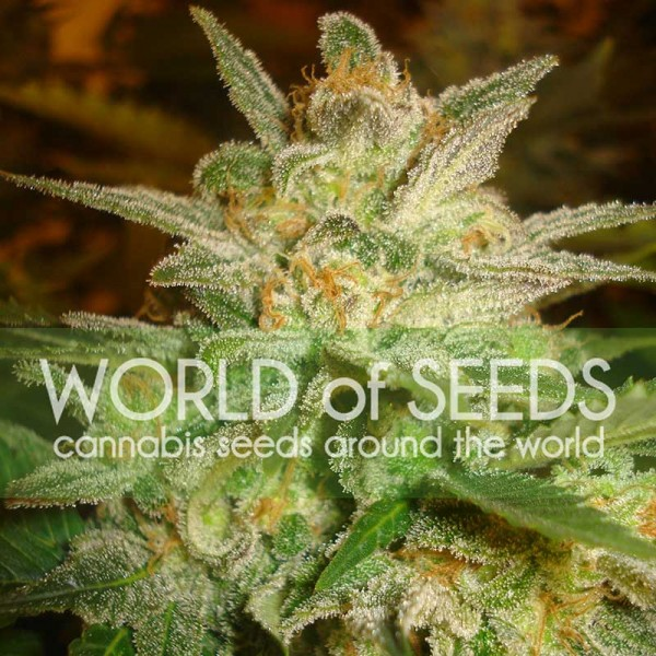 Star 47 - WORLDOFSEEDS - LEGEND COLLECTION