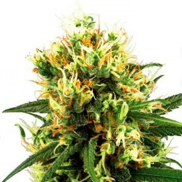 WHITE HAZE AUTOMATIC (WHITE LABEL) - SENSI SEEDS