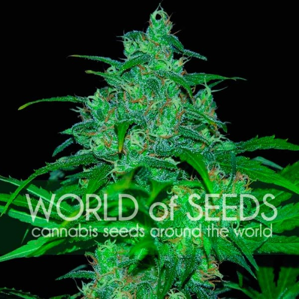 Wild Thailand - WORLDOFSEEDS - PURE ORIGIN COLLECTION