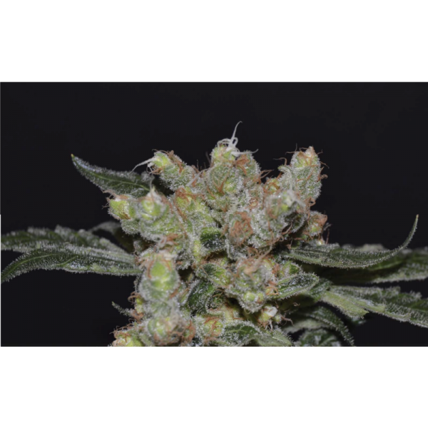 ZEN FEM 6 UNIDS (CBD SEEDS MEDICAL COL.) - CBD SEEDS