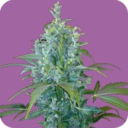 KABALA - FEM. AUTO - 5 UND. (SEEDS OF LIFE)