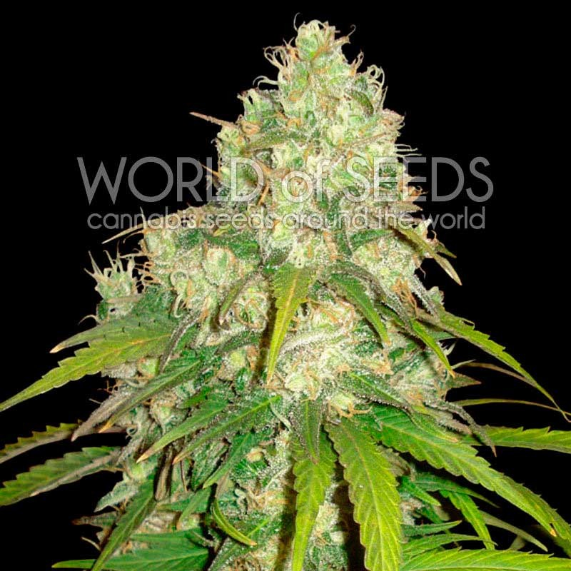 Afghan Kush x Yumbolt - MEDICAL COLLECTION - WORLDOFSEEDS