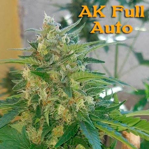 AK Full Auto - 3 seeds - Sumo Seeds