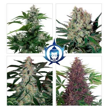 Assorted Auto - BUDDHA SEEDS
