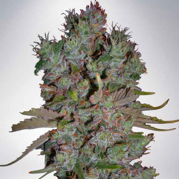 Auto Blueberry Domina - MINISTRY OF CANNABIS