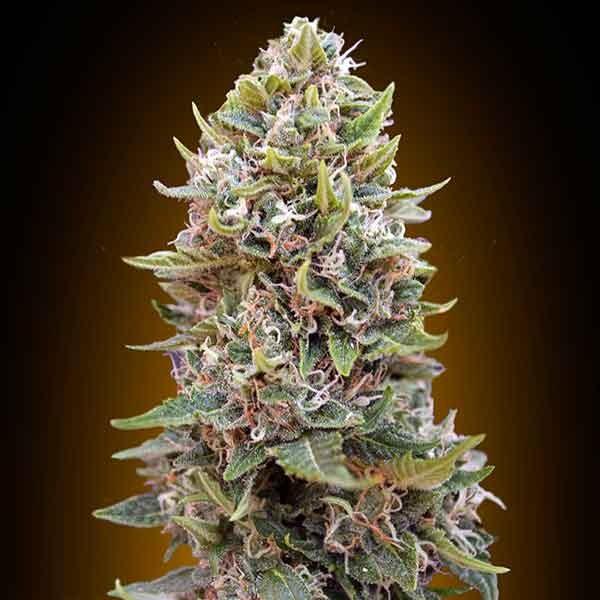 Auto Chesse Berry - 5 seeds - 00 Seeds