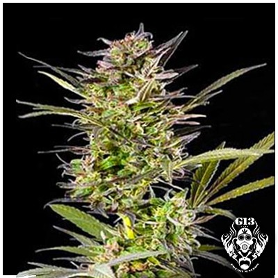 AUTO BLUEBERRY - 5 seeds - Autoflowering - G13 Labs
