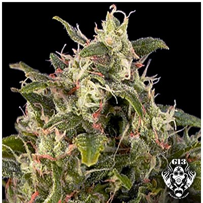 AUTO PINEAPPLE EXPRESS - 5 seeds - G13 Labs