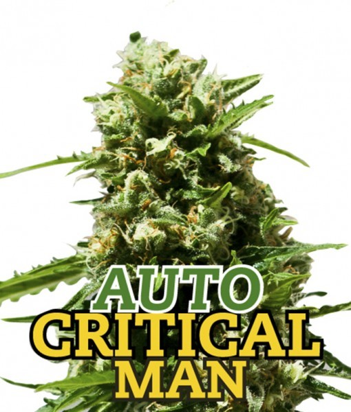 AUTO CRITICAL MAN 1 Seed (FAMILY GANJAH) - Outlet