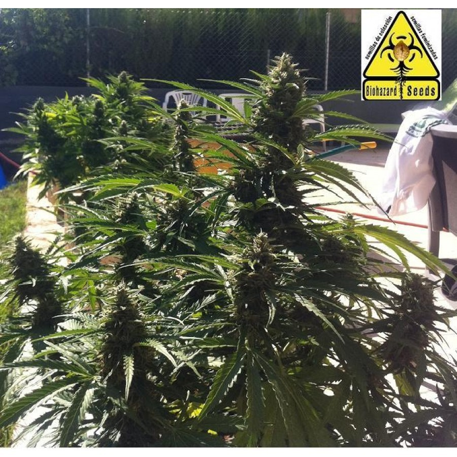 1 UND - AUTO POWER - FEM (BIOHAZARD SEEDS) - BIOHAZARD SEEDS
