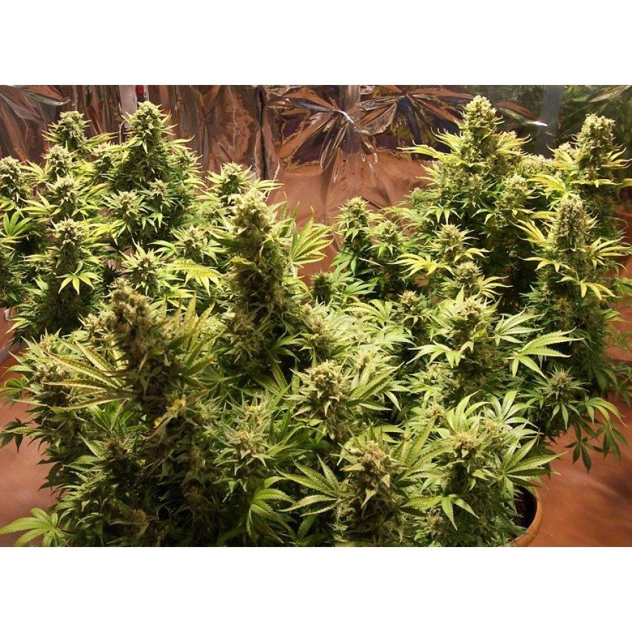 1 UND - AUTO SOMACHIGUN - FEM (BIOHAZARD SEEDS) - BIOHAZARD SEEDS