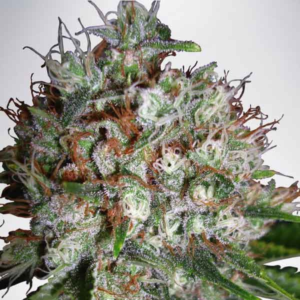 Big Bud XXL - MINISTRY OF CANNABIS