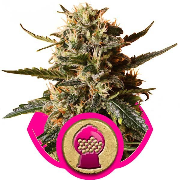 Bubblegum XL - ROYAL-QUEEN SEEDS