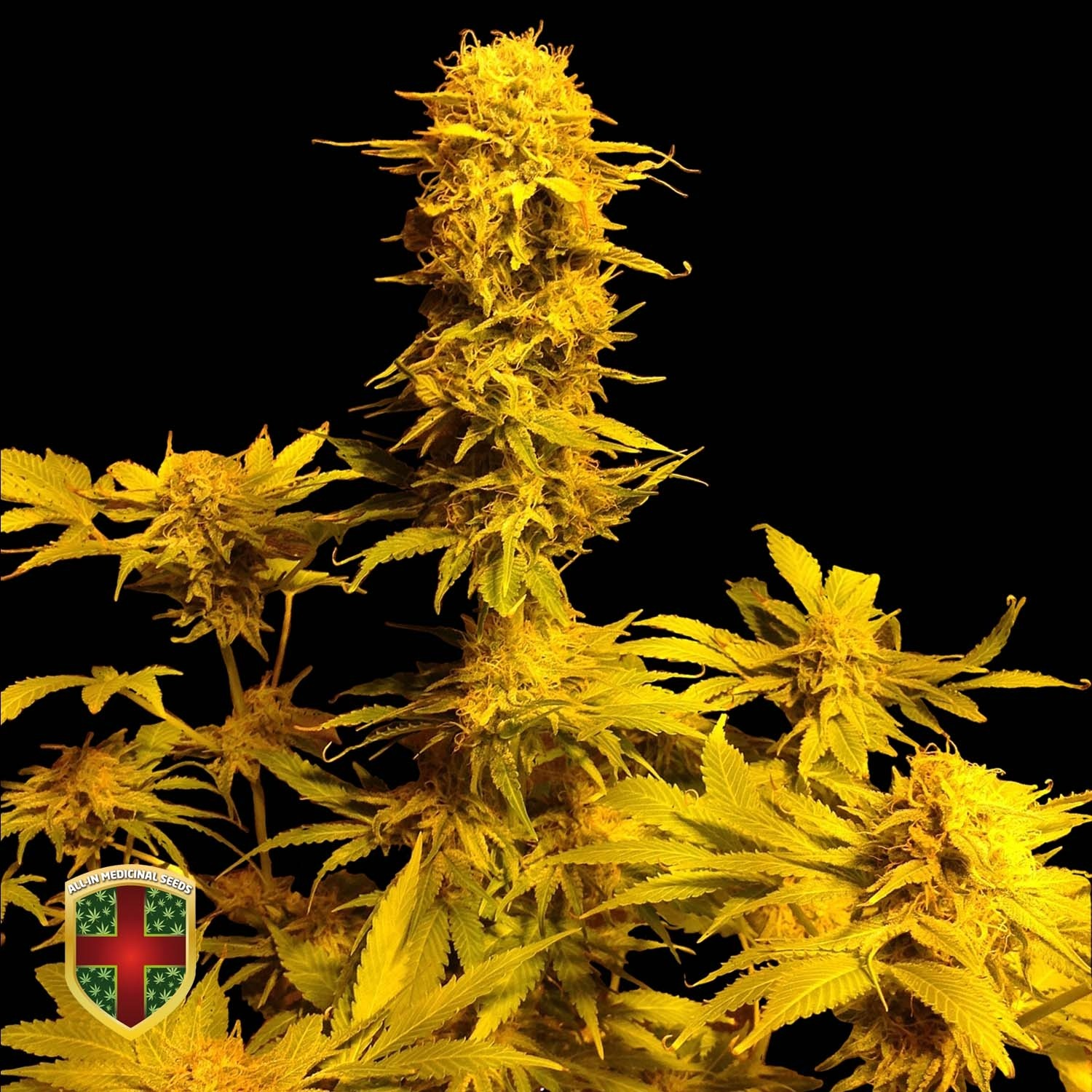 BUBBLE-BOOM  - 5 UNDS FEM - ALL IN MEDICINAL - ALL-IN MEDICINAL SEEDS