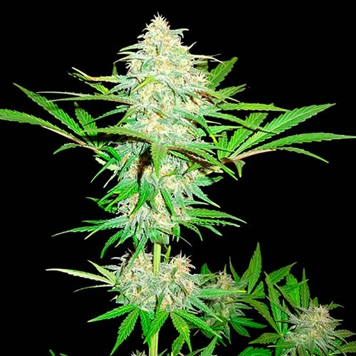 Cali Gangsta Kush - 3 seeds - Sumo Seeds