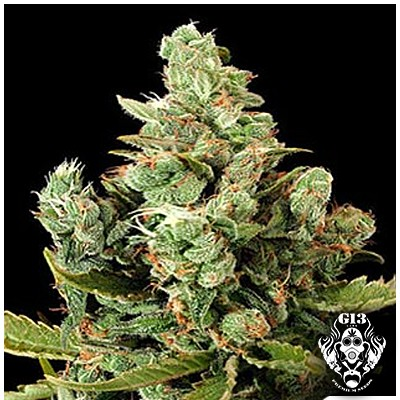 CHEESE - 5 seeds - Feminized - G13 Labs