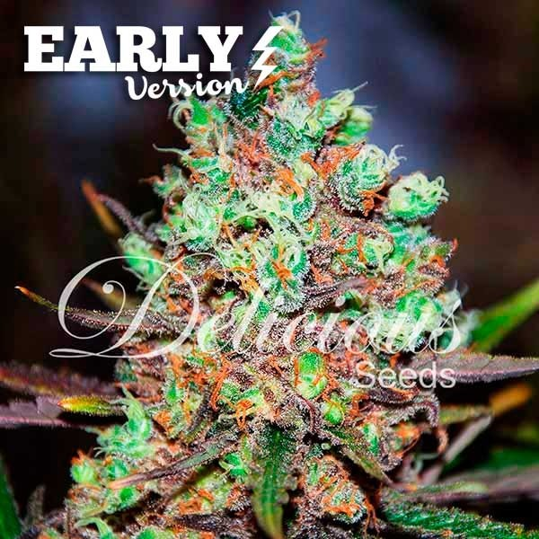 COTTON CANDY KUSH EARLY VERSION - EARLY VERSION - DELICIOUS SEEDS